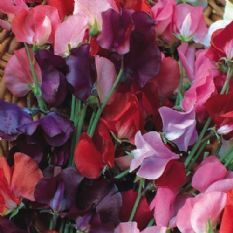 Sweet pea Knee High - 10 grams - 1kg